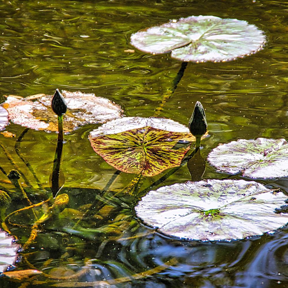 717 lily pads watermarked 300dpi uiymzj
