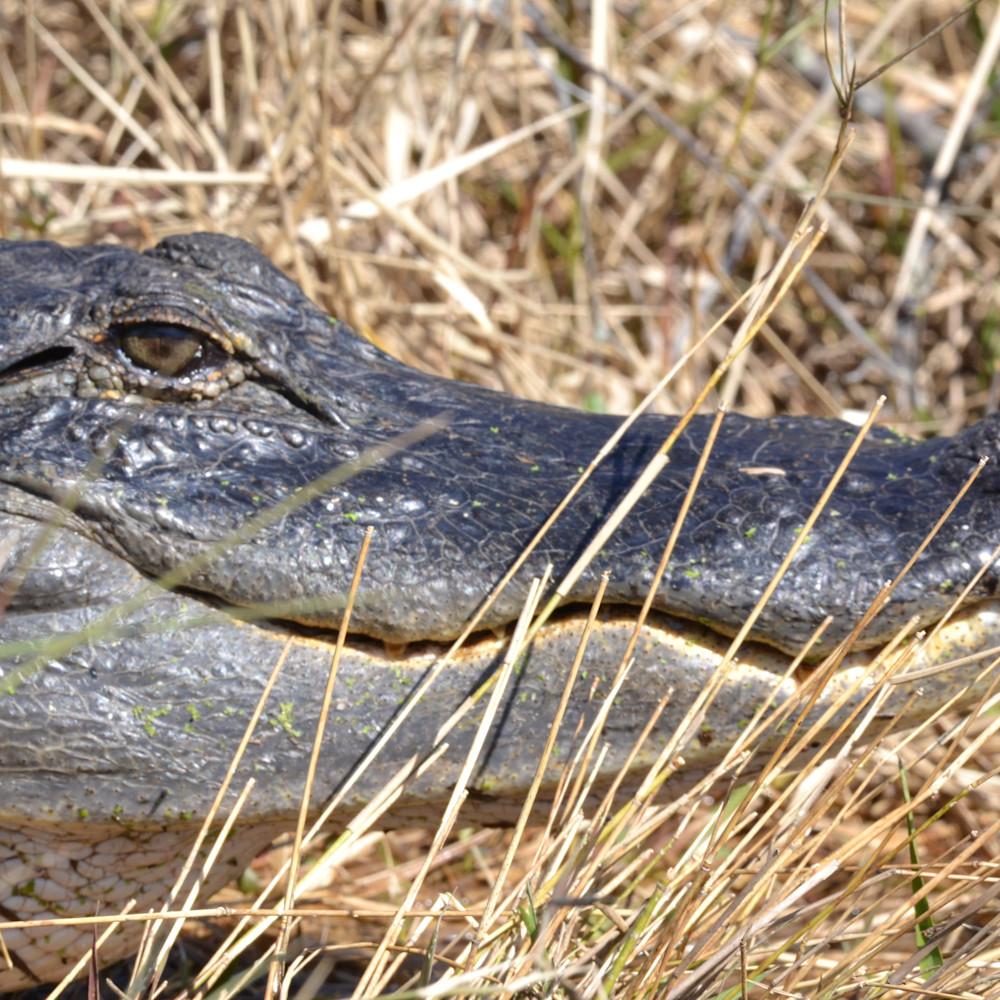 Alligator eye 2   copy ux4ops