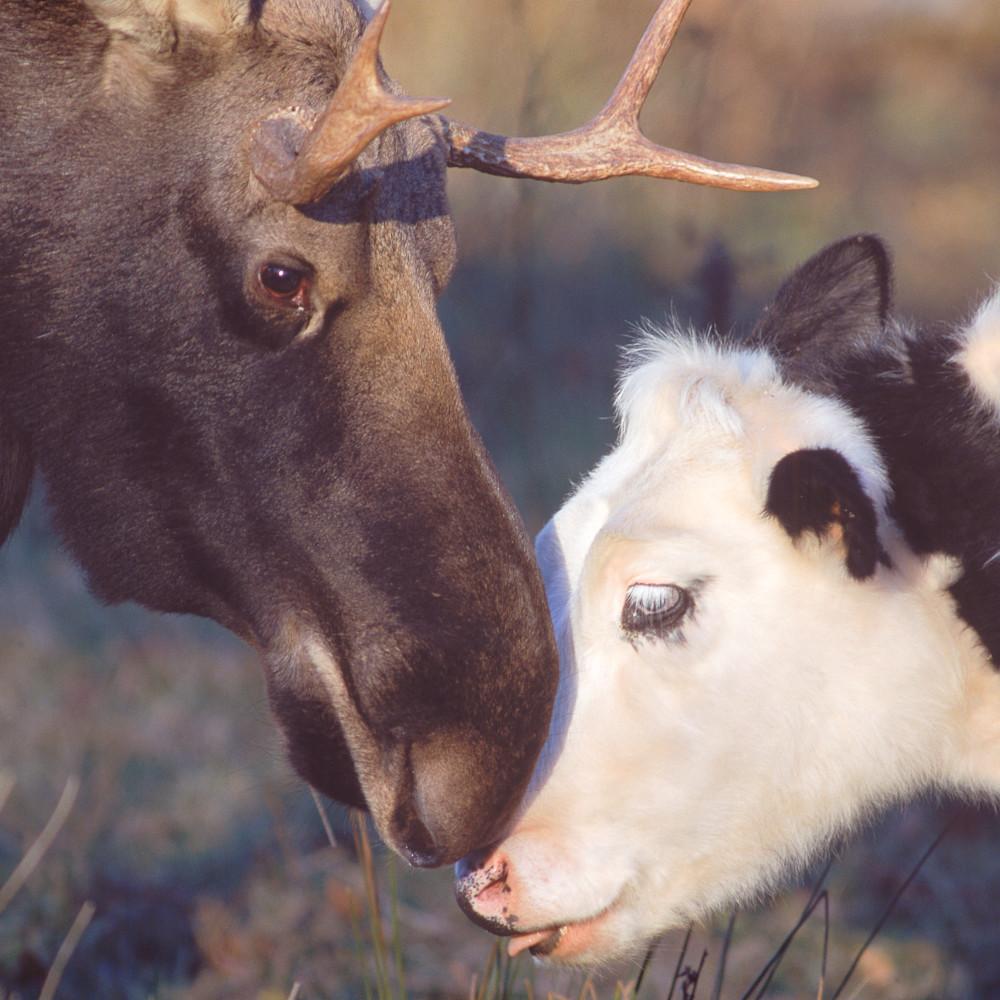 Bull moose and heifer wissst