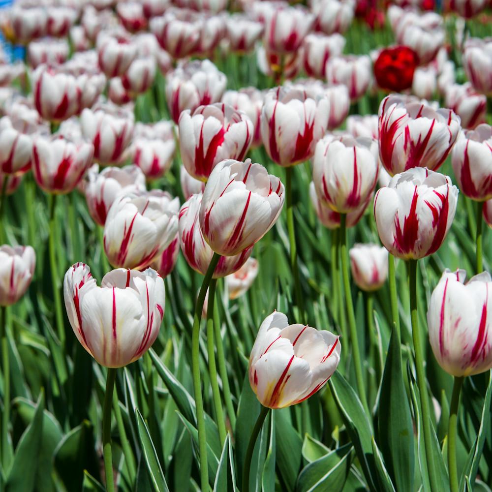 Julie williams tulips infrared 6859 2 twtebd