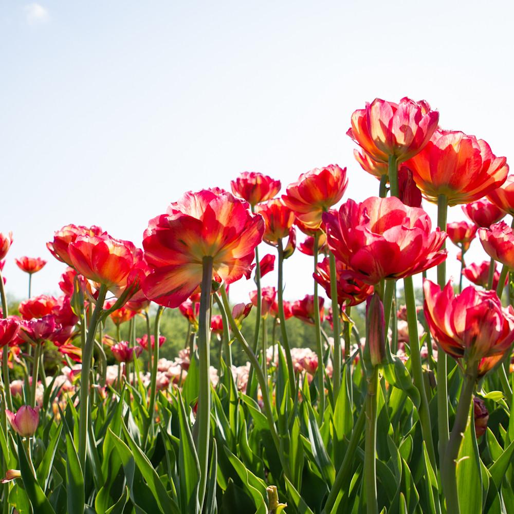 Julie williams tulips  2 tzssbk