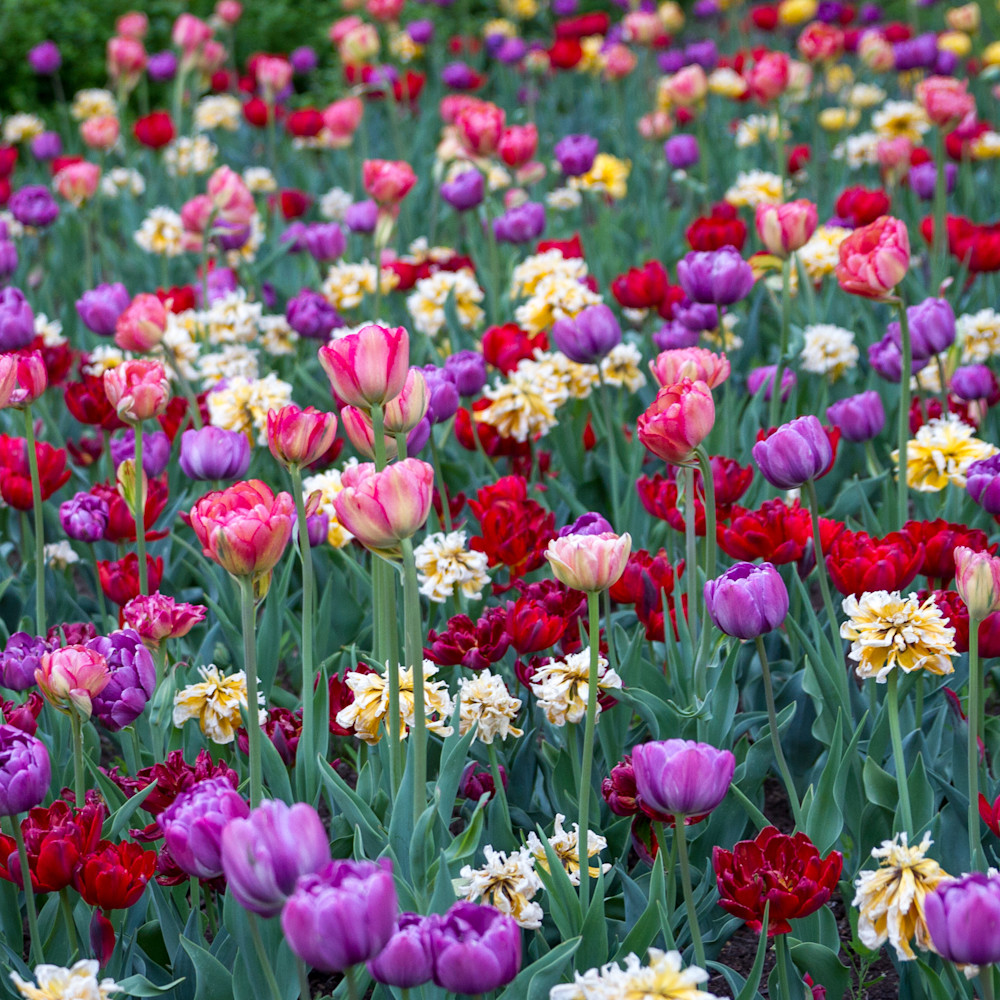 Julie williams tulips  z85tvx
