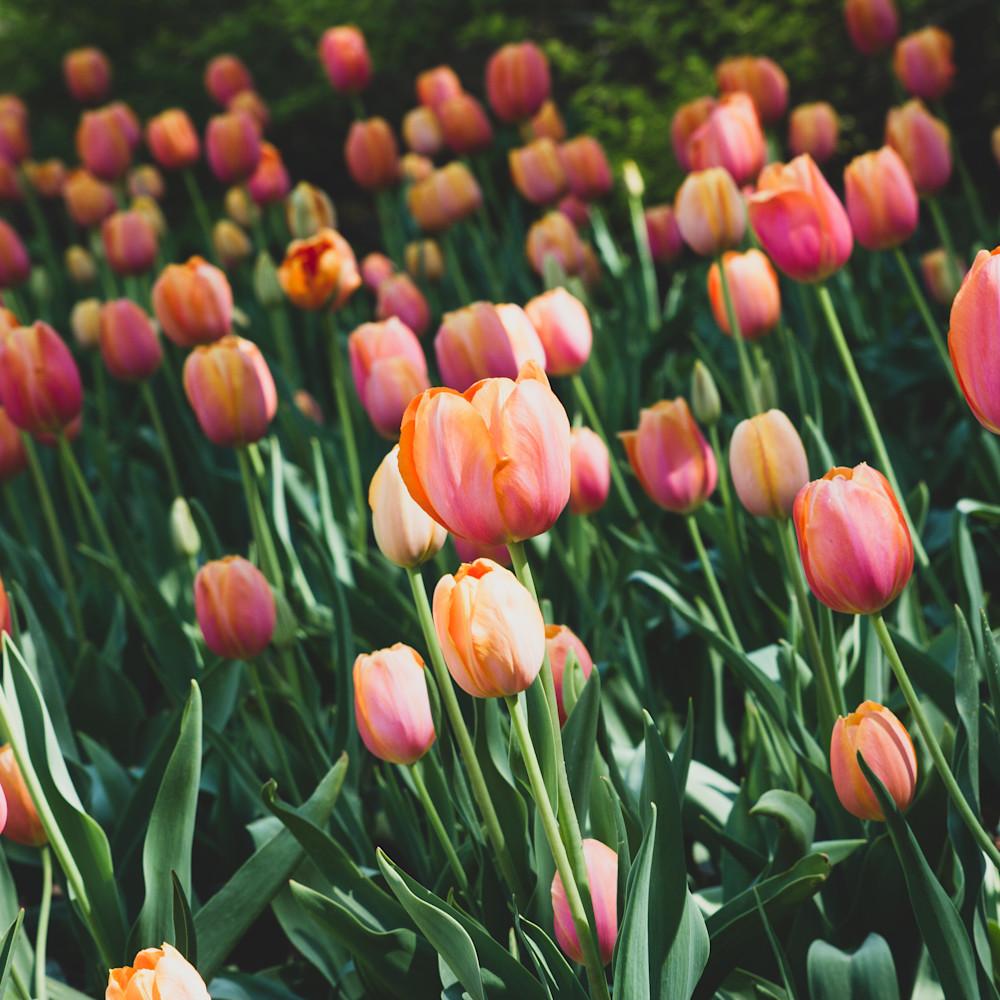 Julie williams tulips 6665 zpuh03