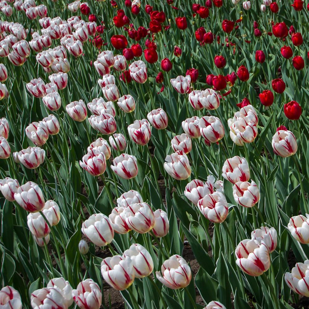 Julie williams tulips 6797 nzcevx