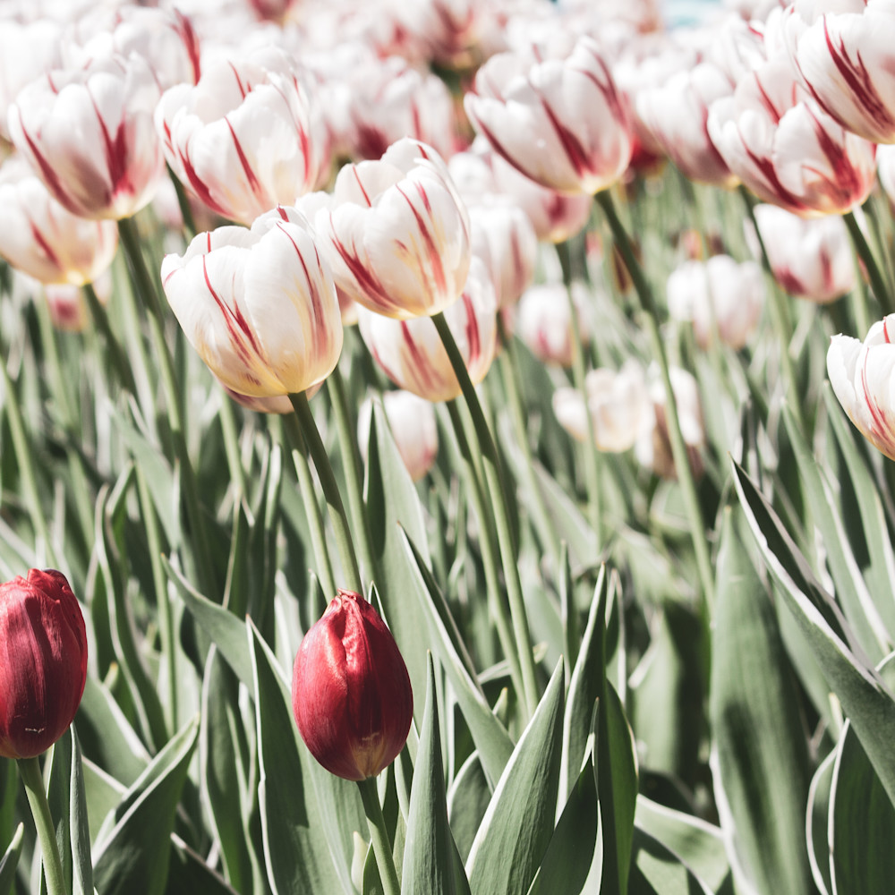 Julie williams tulips 6813 npgqyb