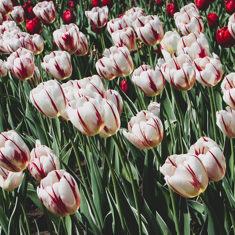 Julie williams tulips 6800 eot5s7