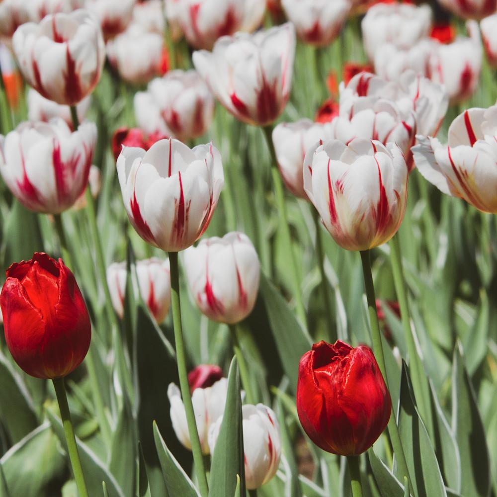 Julie williams tulips 6843 sn1blv