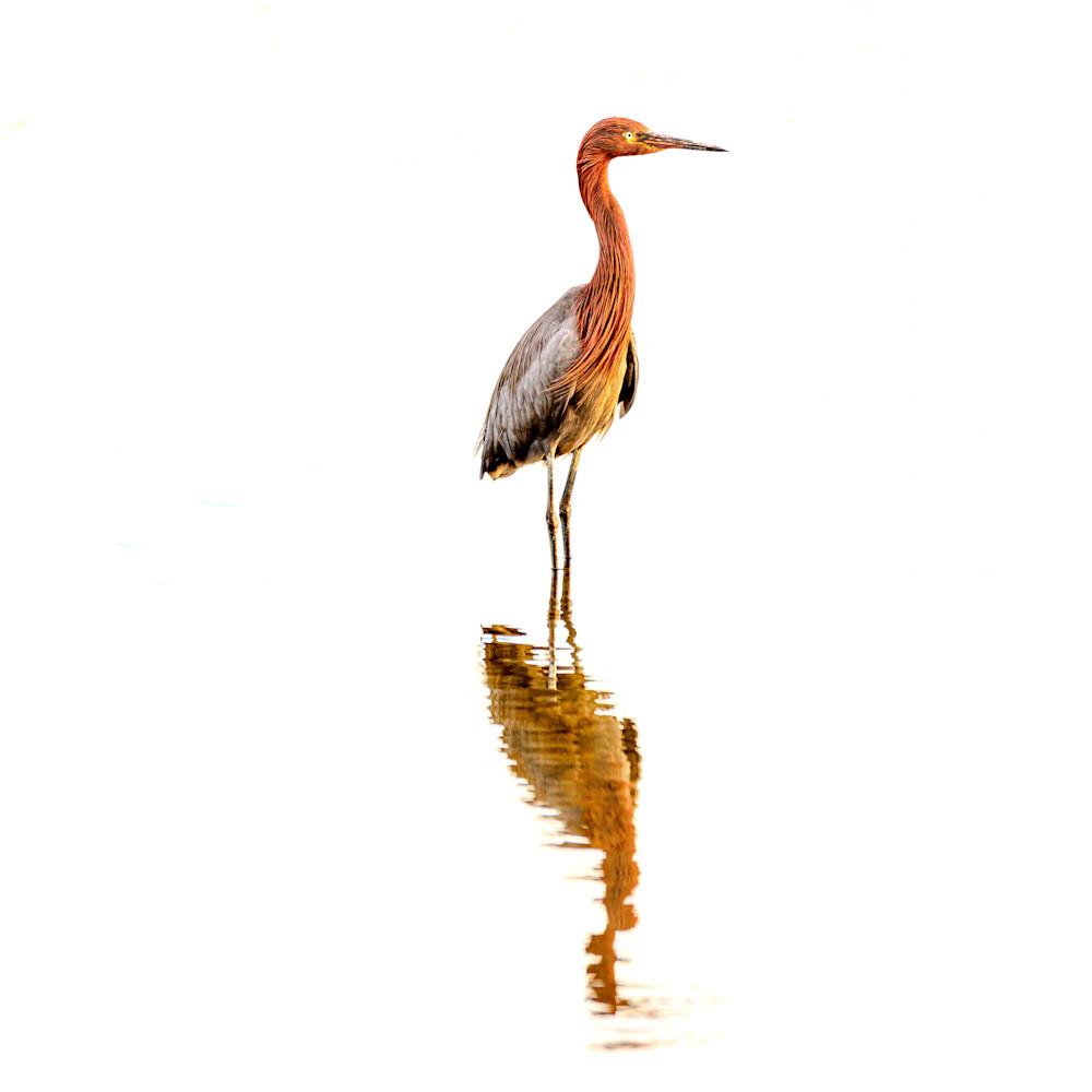 Reddish egret vhryfp