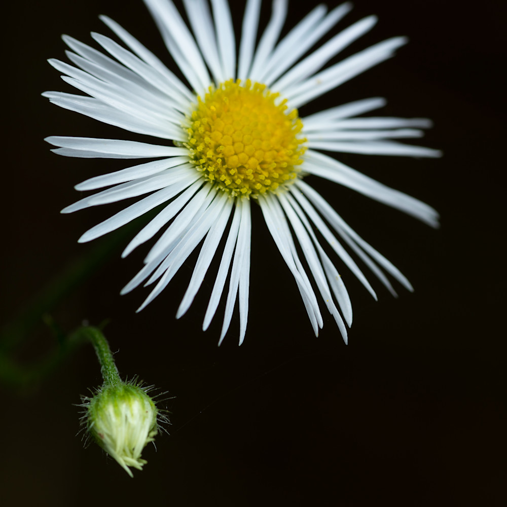 Daisy fleabane e34056 yayavs