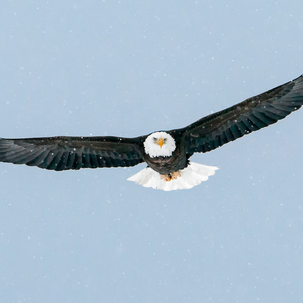 Bald eagle in flight in snow uac4ru