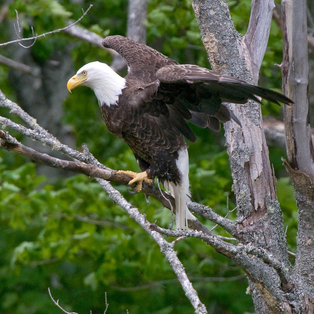 Bald eagle maine xbz07l