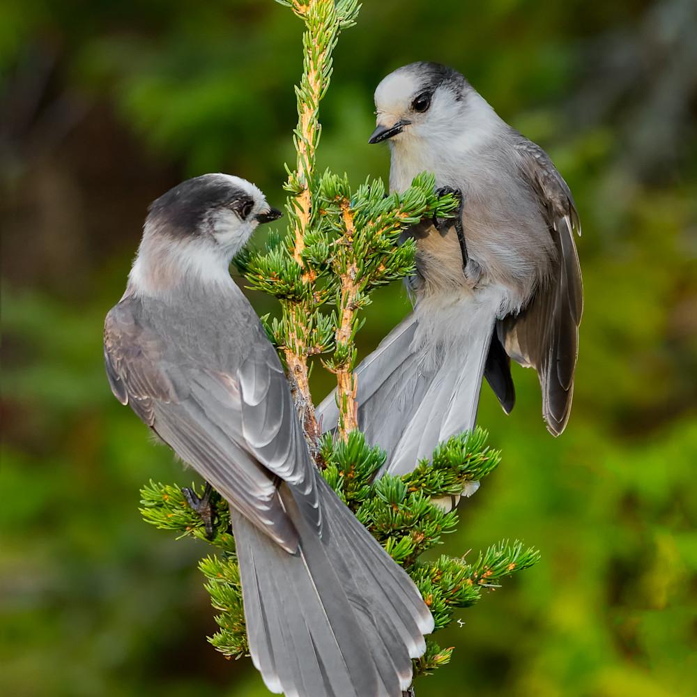 Gray jay pair dhw2xg