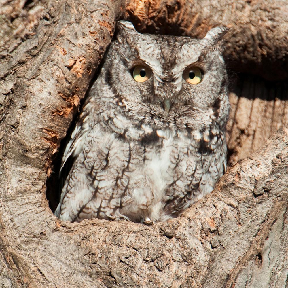 Gray phase screech owl rqak3c