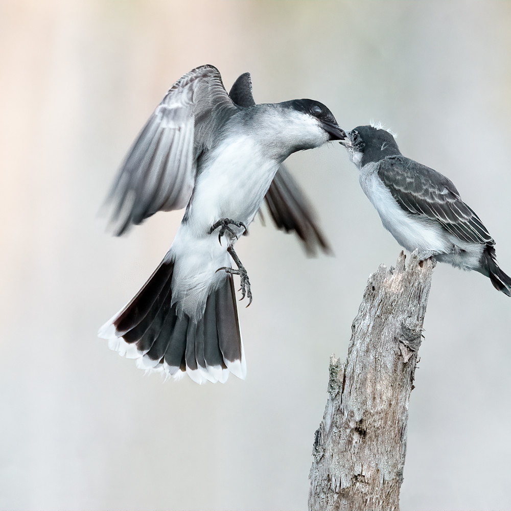 Eastern kingbird feeding on the wing fkcs49