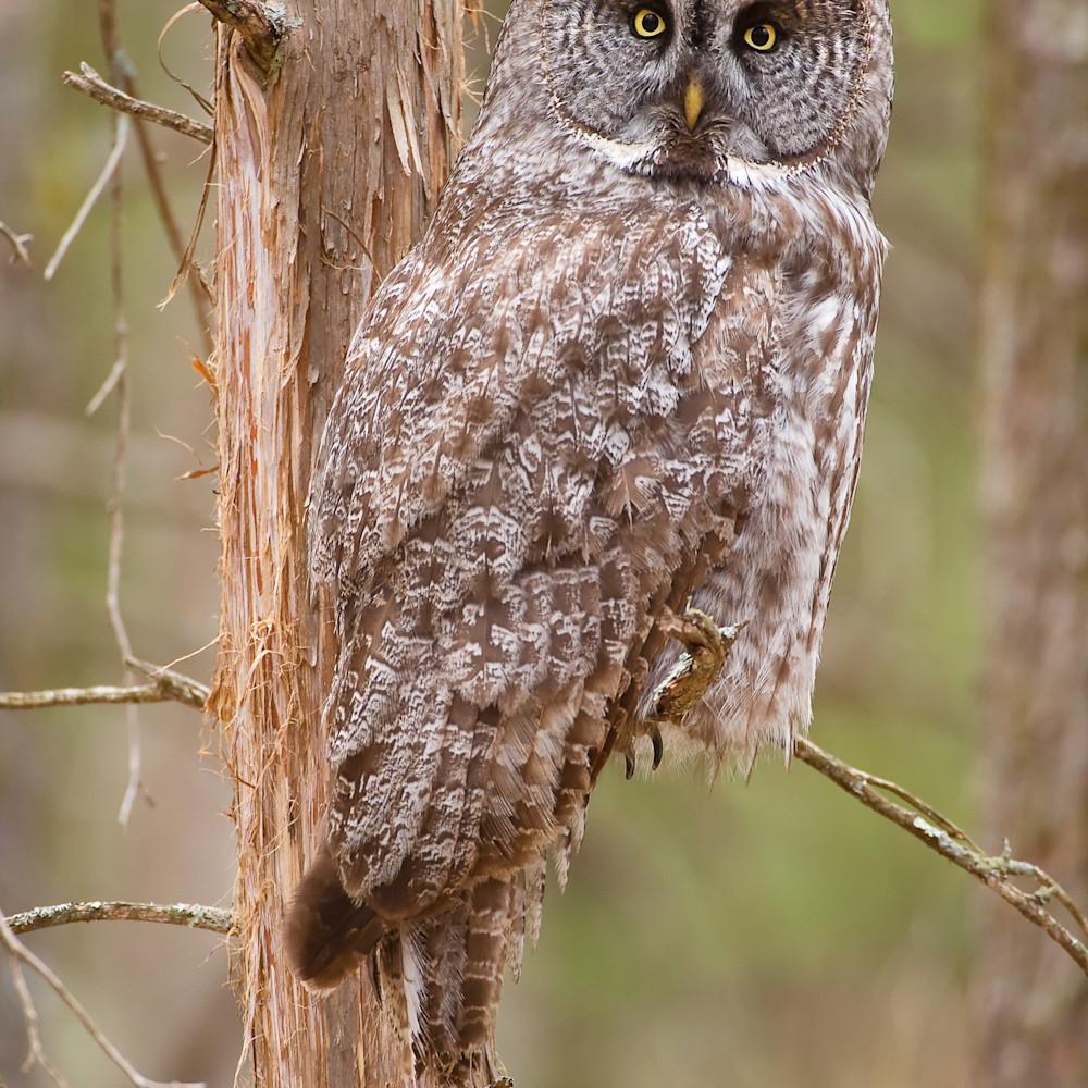 Great gray owl in cedar ud7cnm