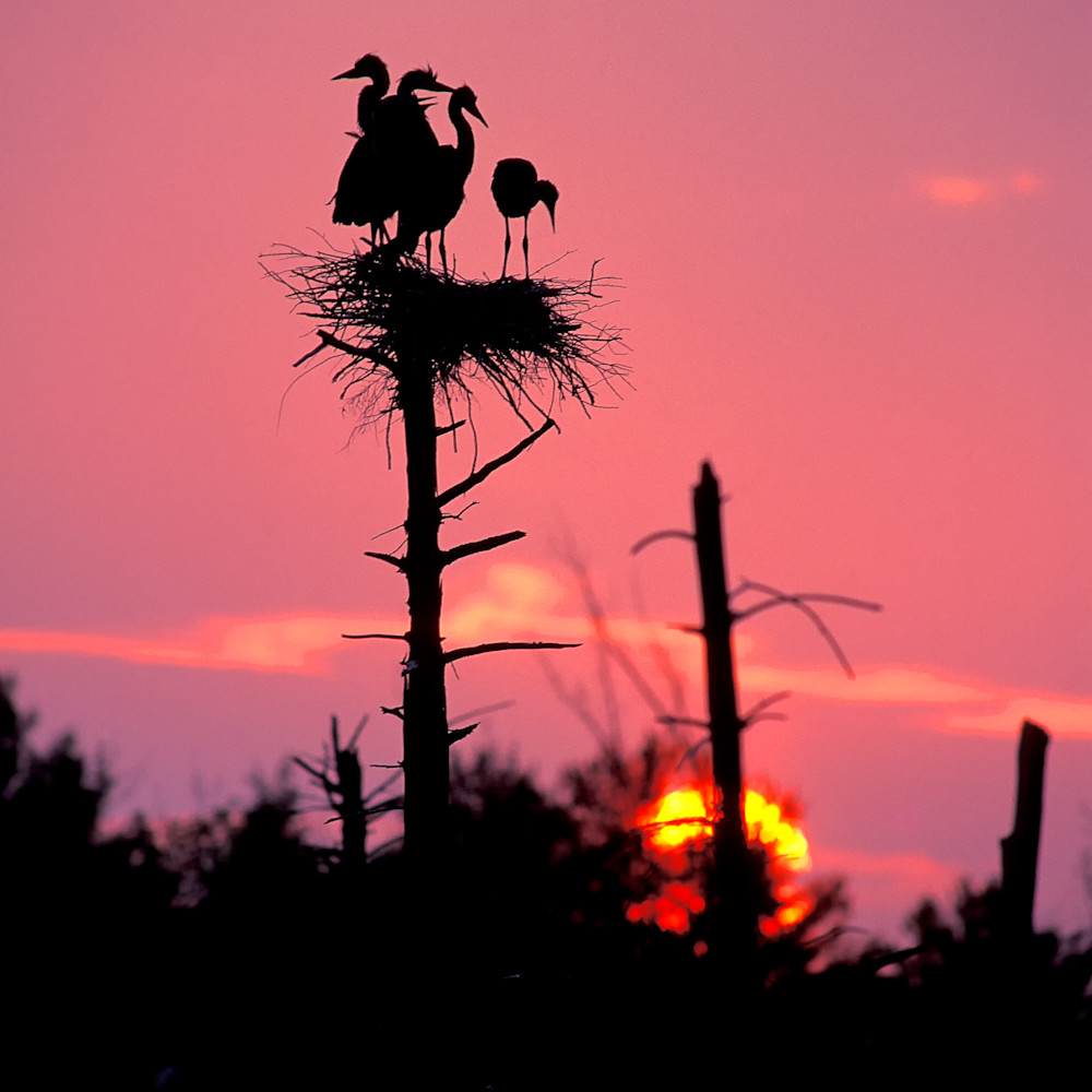 Great blue heron sunset zzemfp