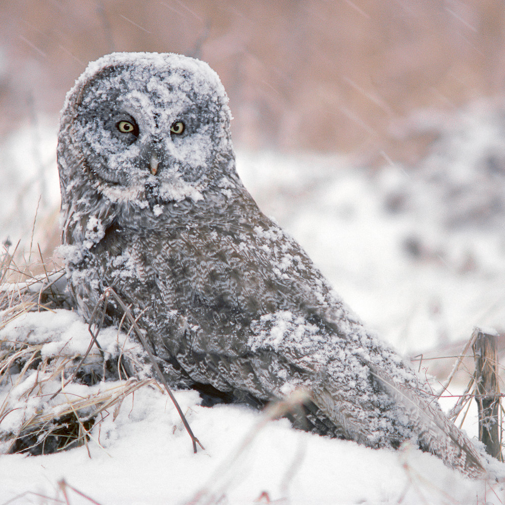 Great gray owl in snow y6wsfz