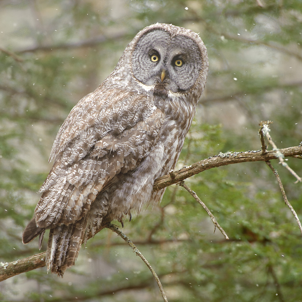 Great gray owl on branch opb18v