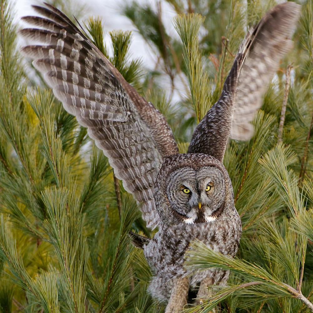 Great gray owl takeoff gf4yjl