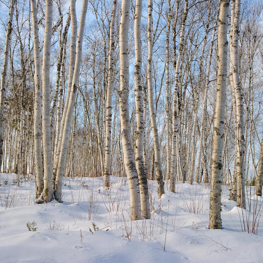 Birches in winter yadp3f