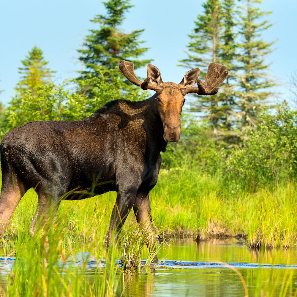 Bull moose drift by juprxe