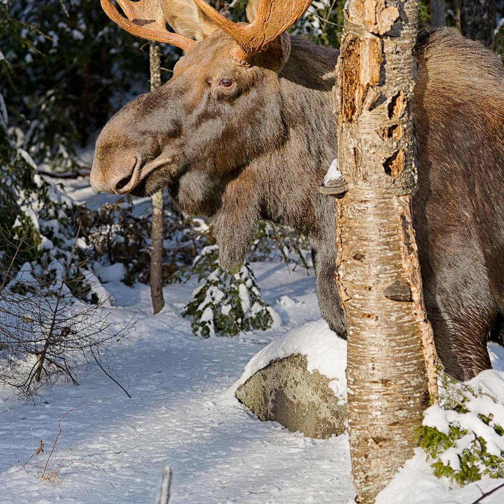 Bull moose behind gray birch verticlal es2sgb