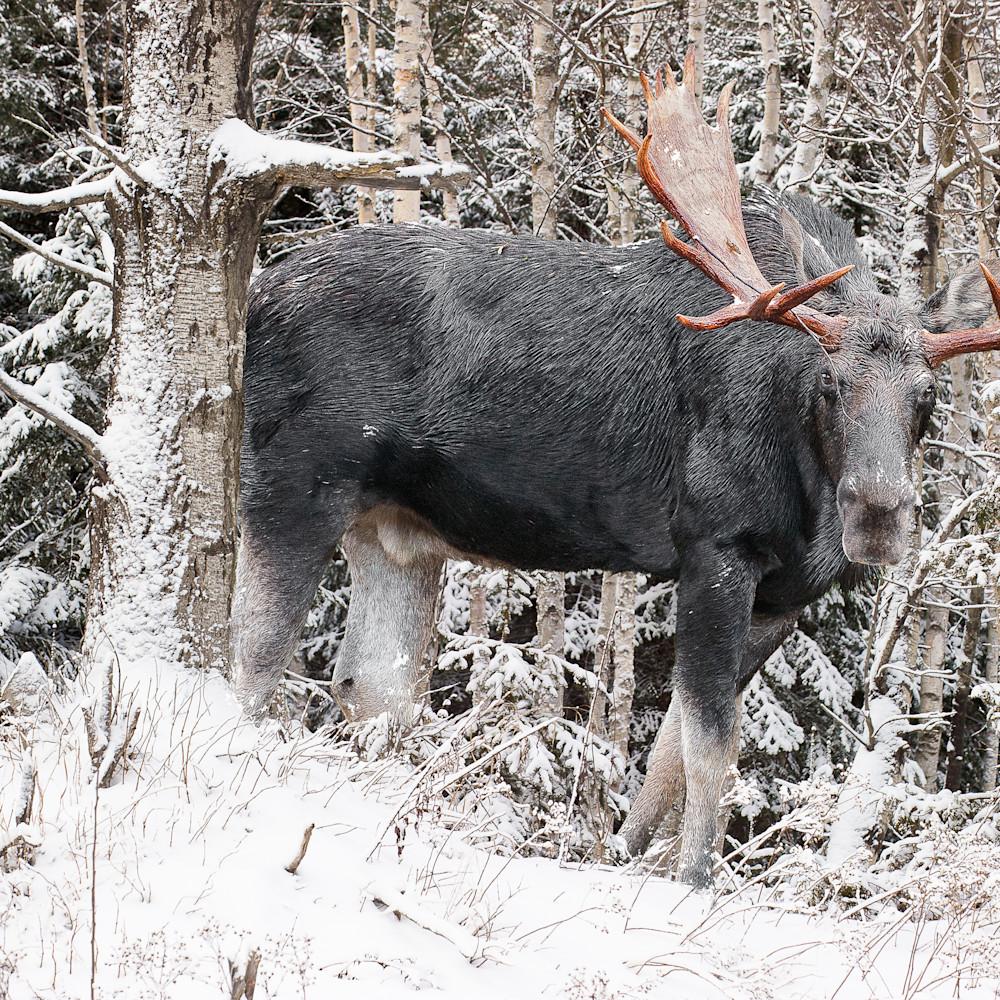 Bull moose behind snowy birches pmlc3c