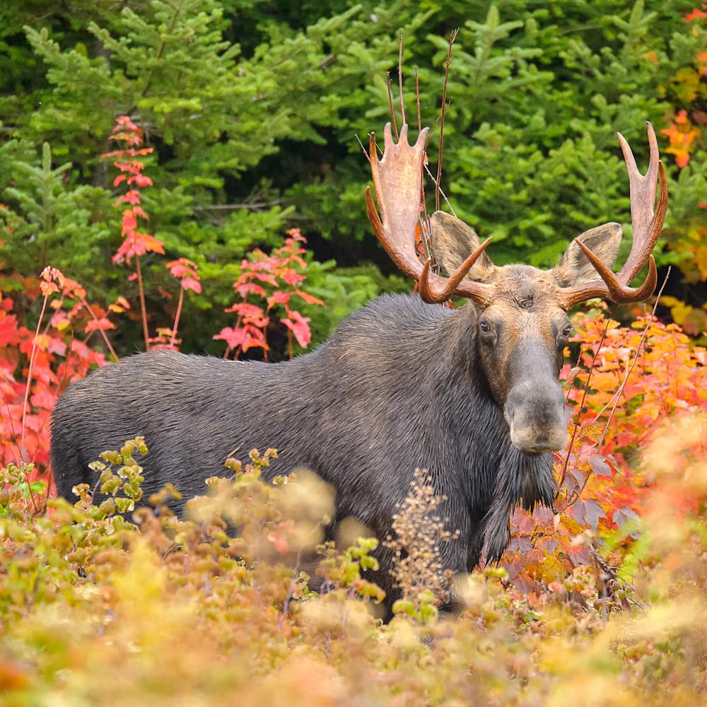 Bull moose in color ffubsi