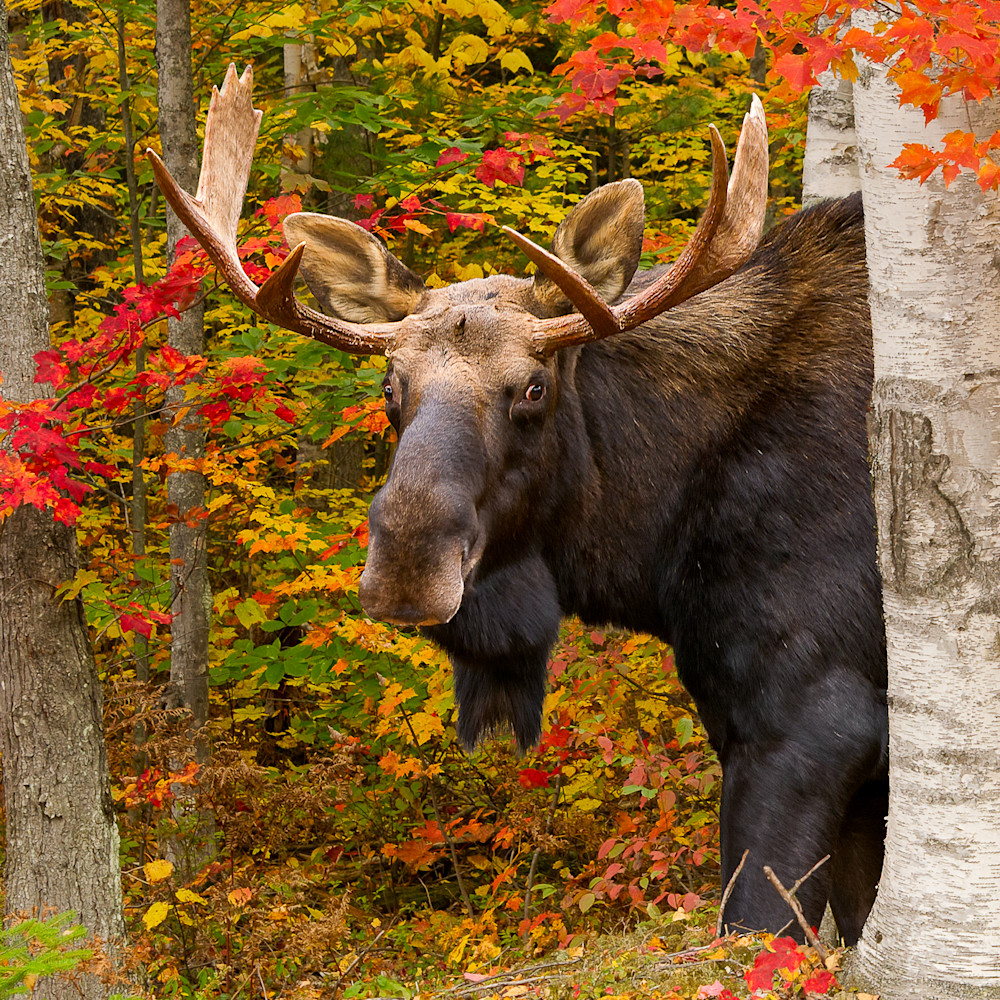 Bull moose in red maples tqit2a