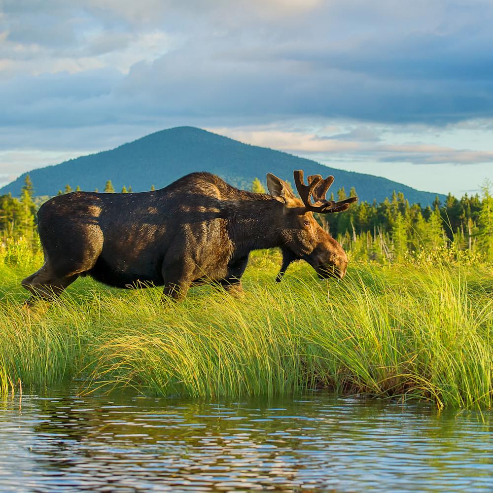 Bull moose walking in grass with mountain iz8dql