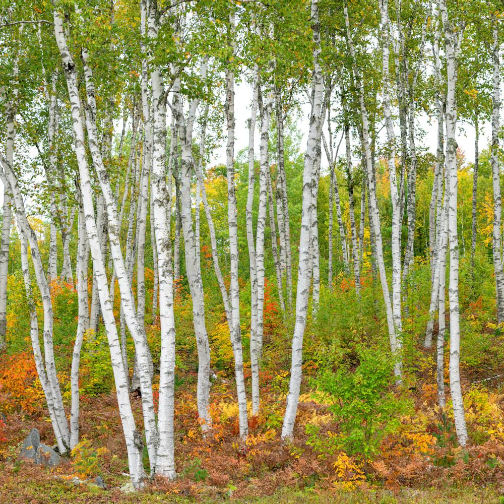 Birches in fall color miv13l