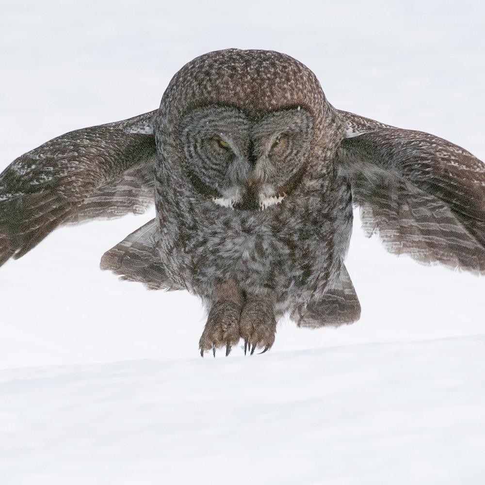 Great gray owl landing wfz6c3