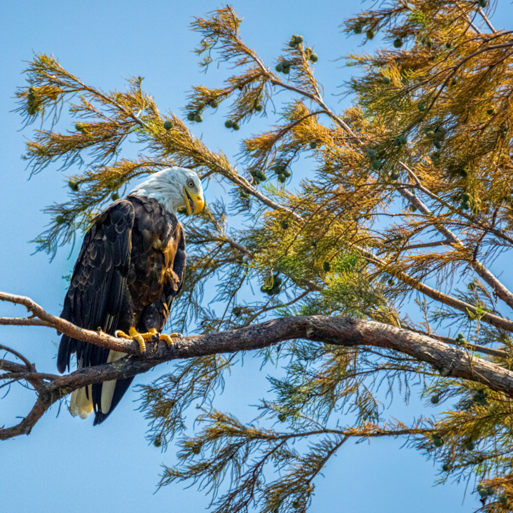 Bald eagle 8821 fss fw2mow