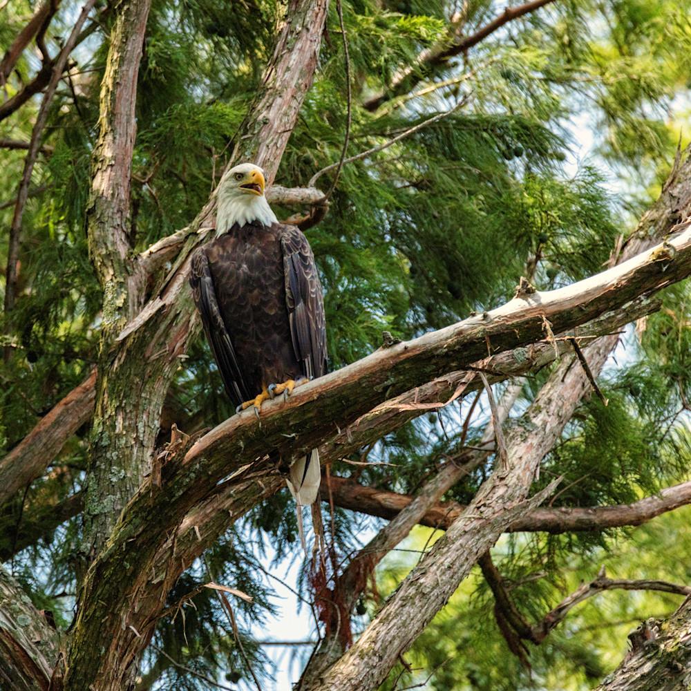 Bald eagle 9164 fss wcufpm