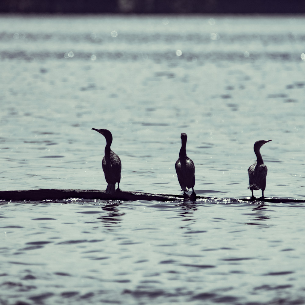 Cormorants 8757 fss sfhotu