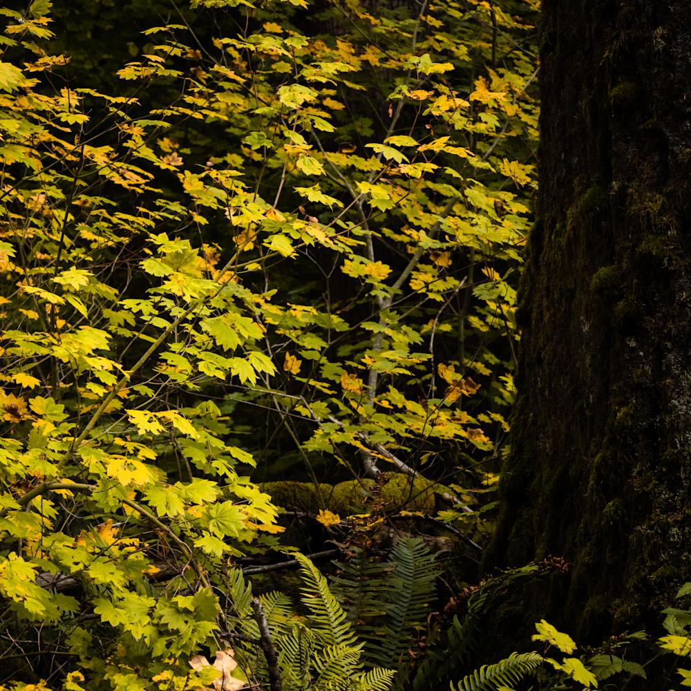 Autumn maples oakville washington 2020 knbia0