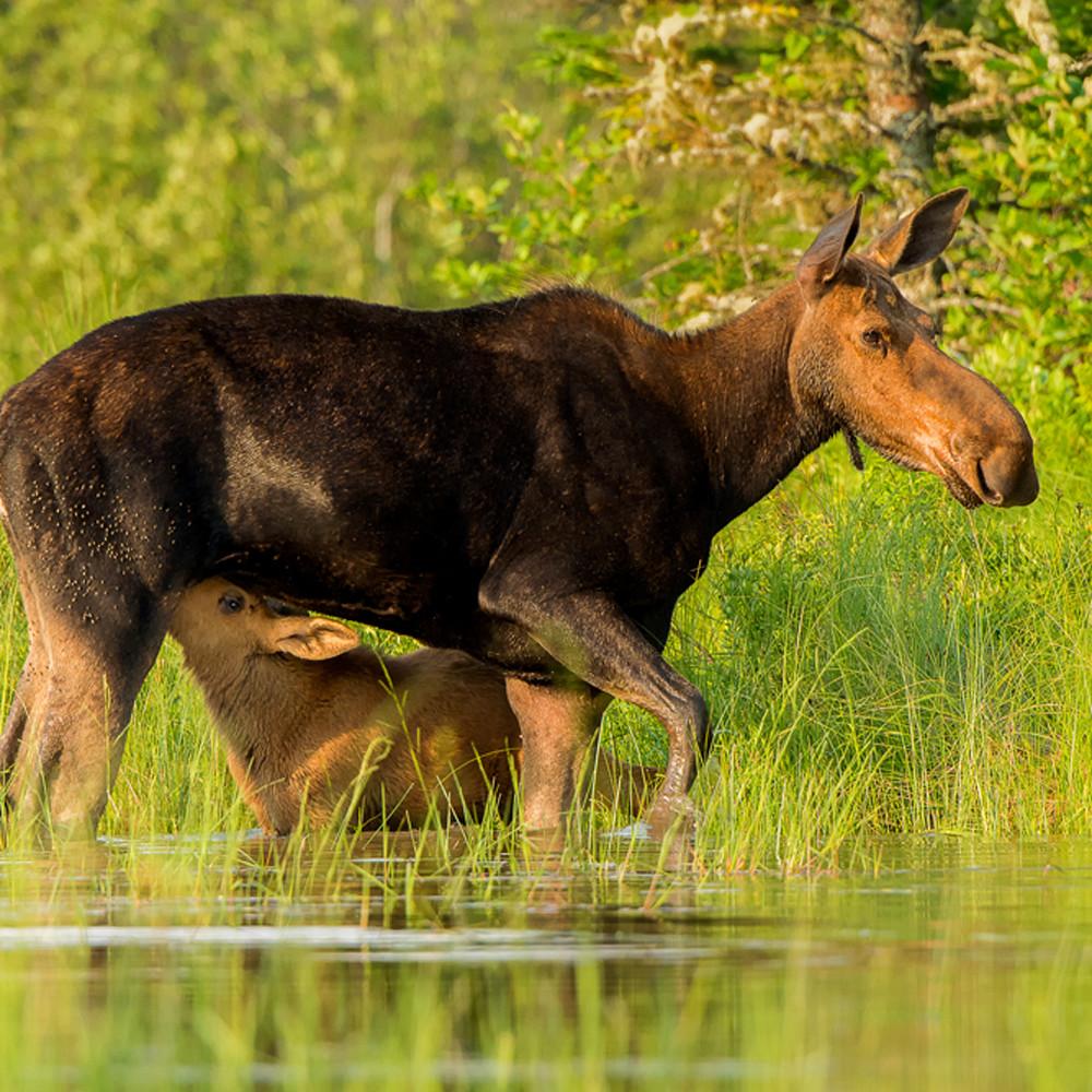 Cow moose nursing calf zpp3zq