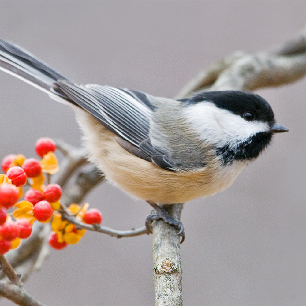 Black capped chickadee in bittersweet lm5tpp