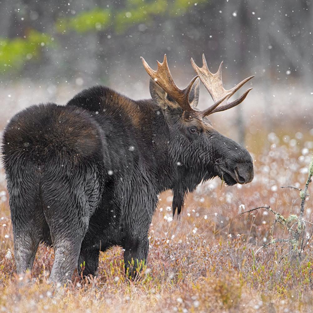 Bull moose in cotton grass u6q4so