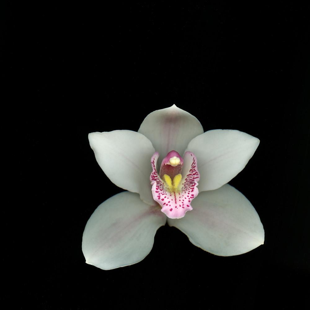Whiteorchidsingle cn5uxc