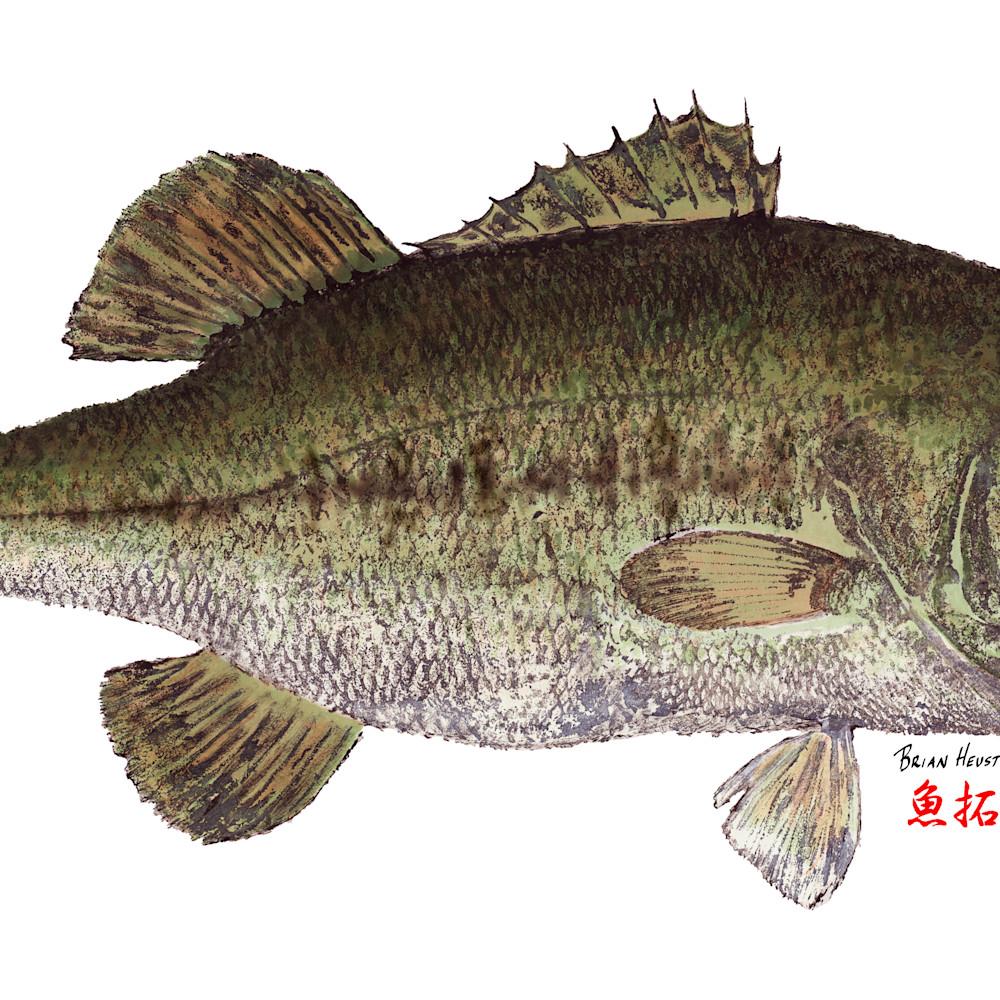 Largemouth bass asf nzmf4y