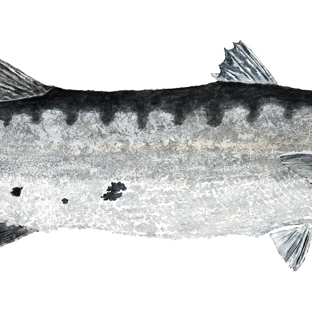 Barracuda asf duyw21