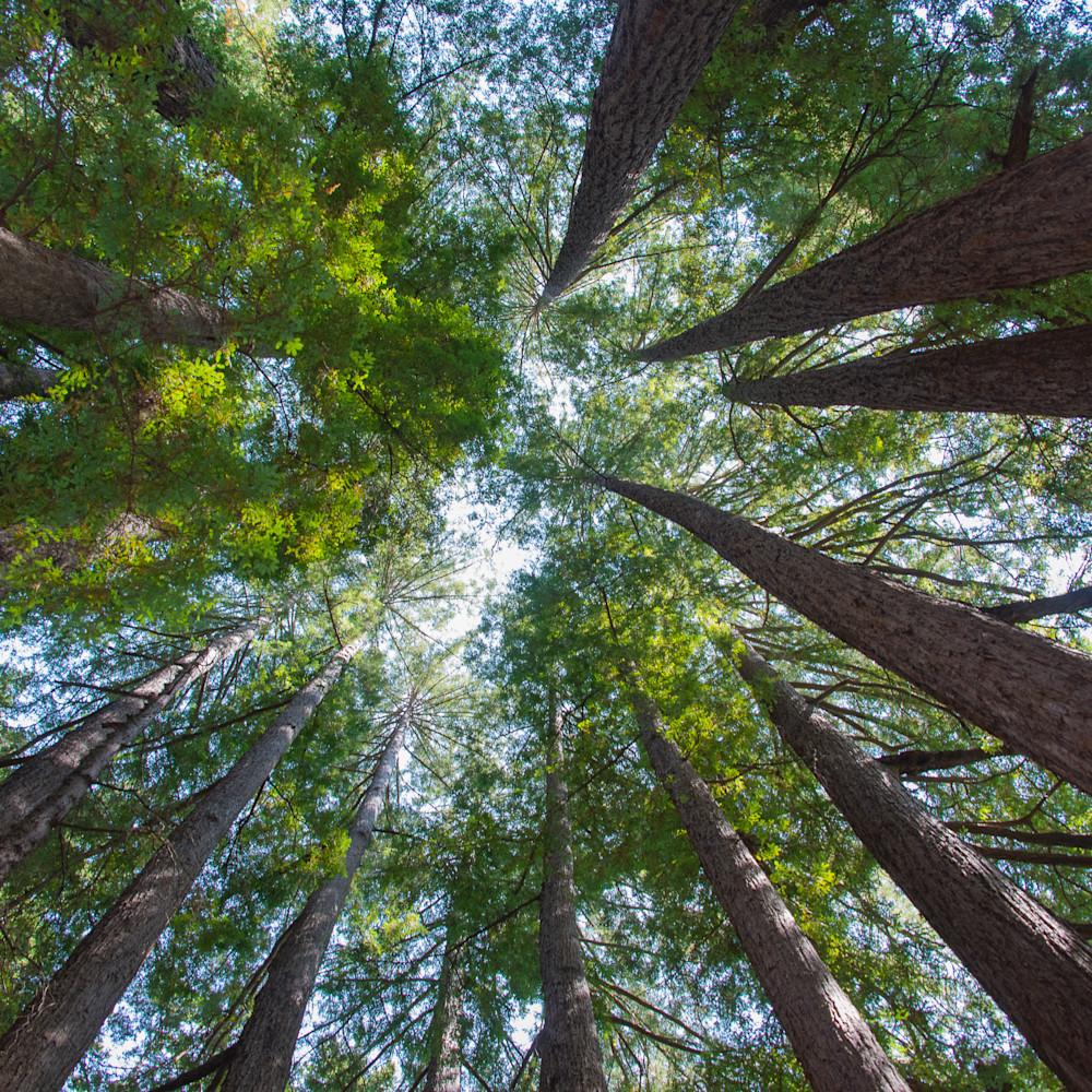 Santa cruz redwoods t47aik