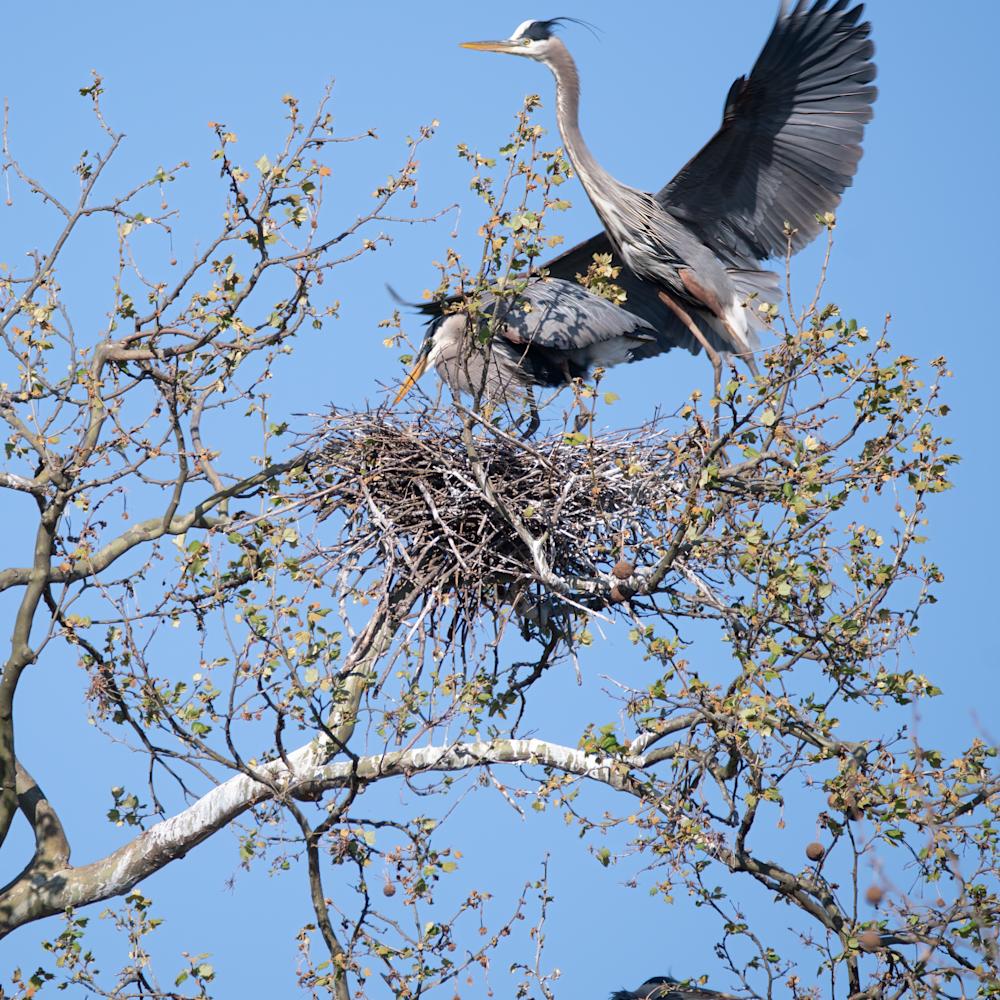 Male heron leaving nest again 4x5 k9vmsn