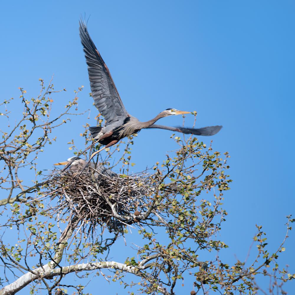 Male heron leaving nest 5x4 u0nwkq