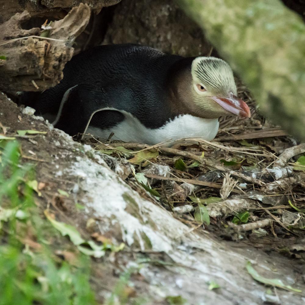 dsc5624 yelloweyed penguine on nest kzufne