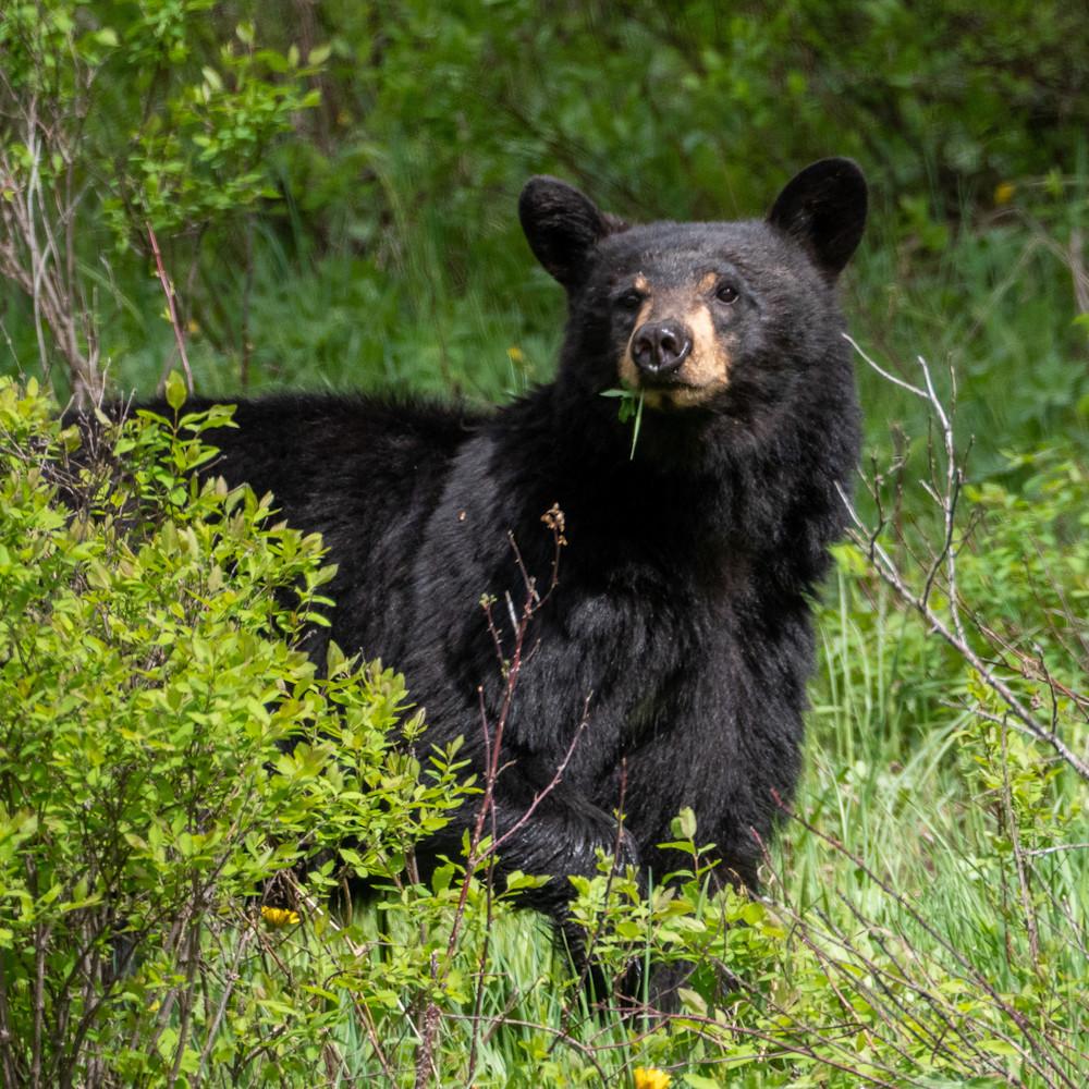 Black bear co53n6