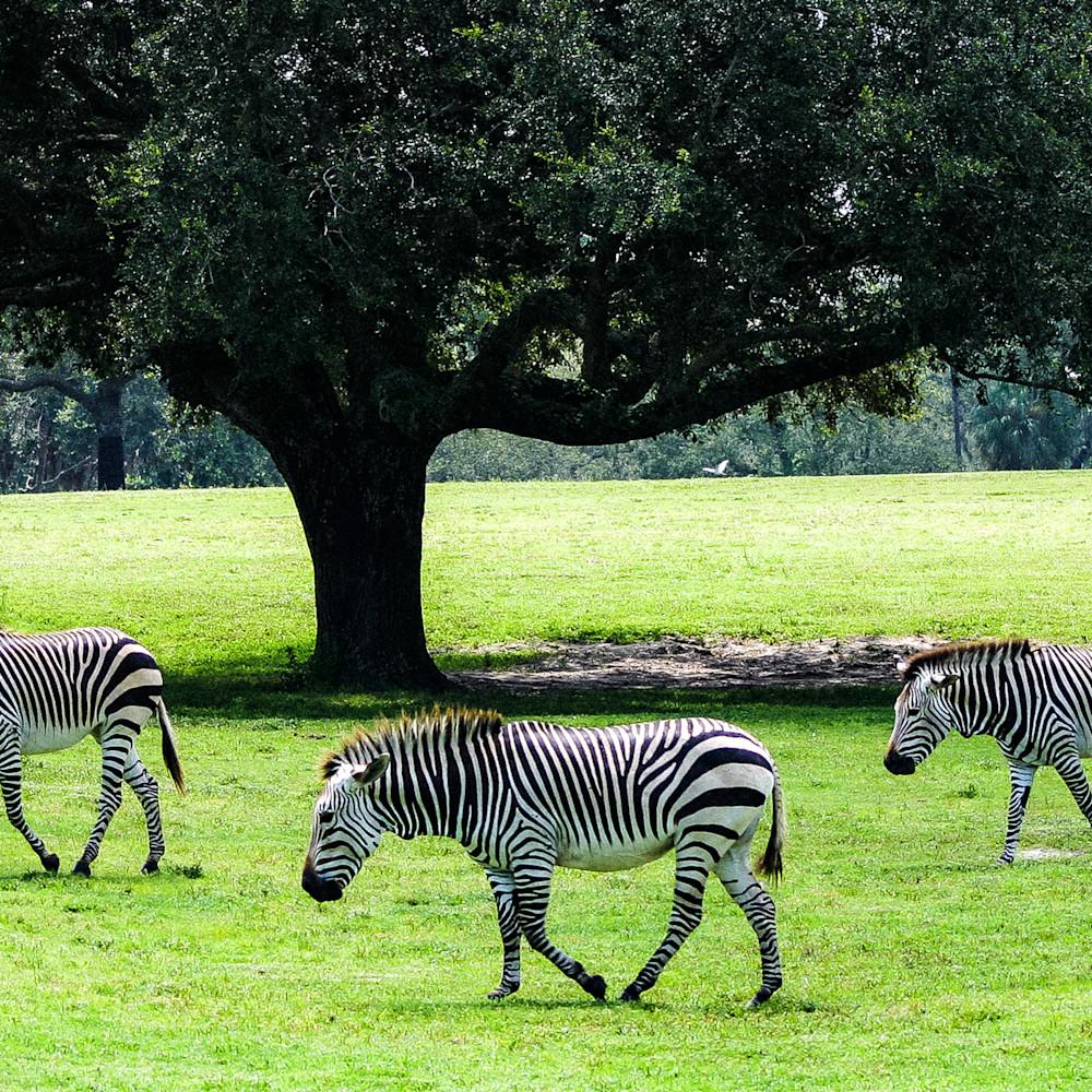 Three zebras 2021 yjpzi9