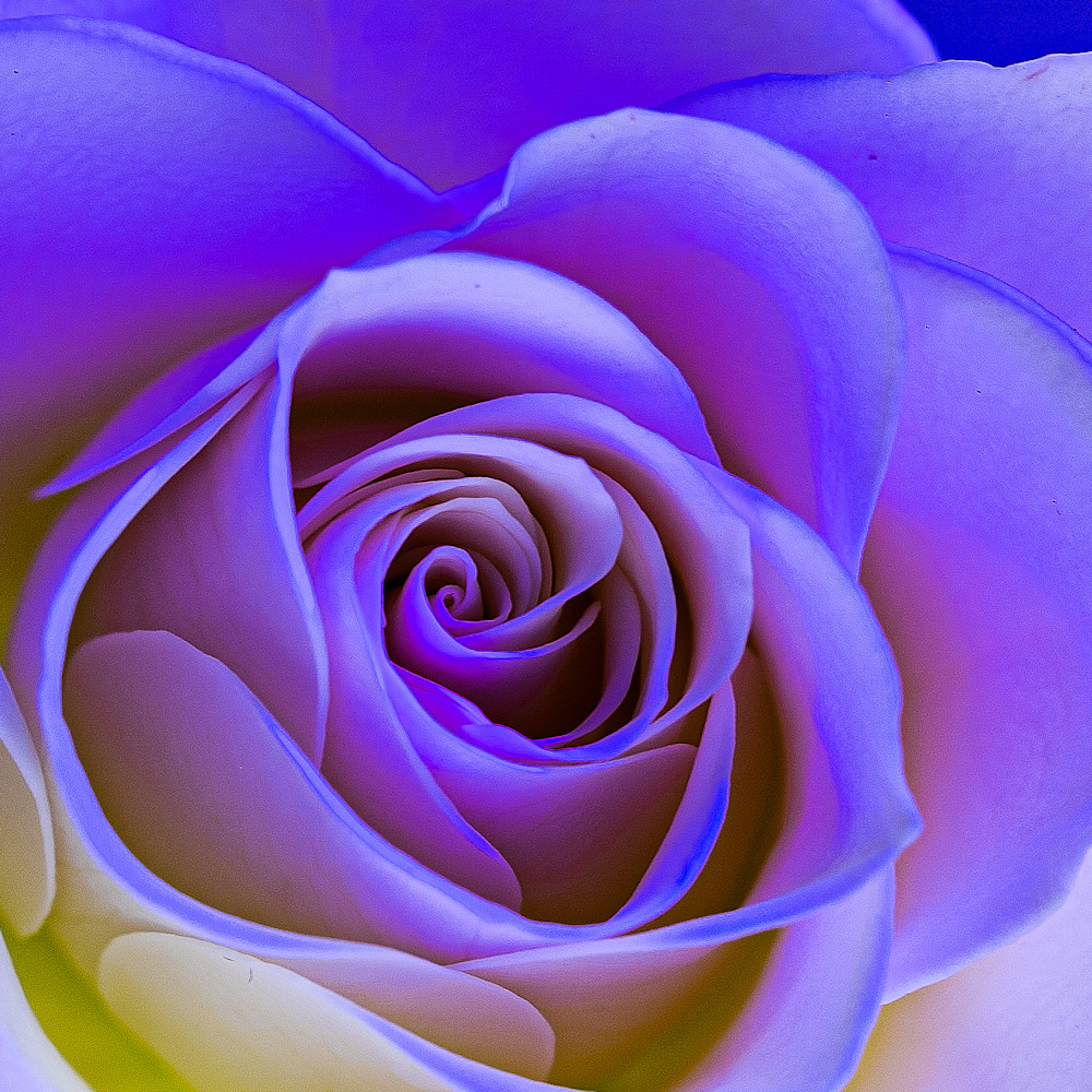Rose uonygr