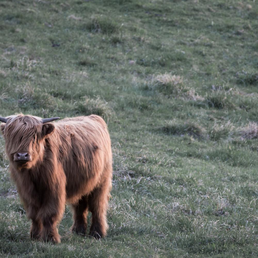 Highland cow sunset h8dpgm
